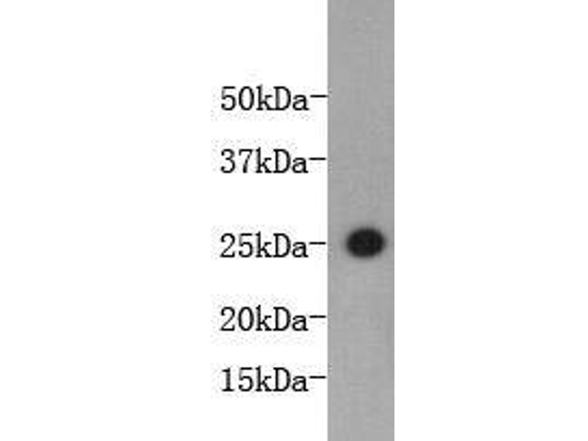 Western blot analysis on bioactive mouse IL-6 protein using anti-mouse Interleukin 6 Conjugated HRP Mouse mAb (Cat. # M1303-2).