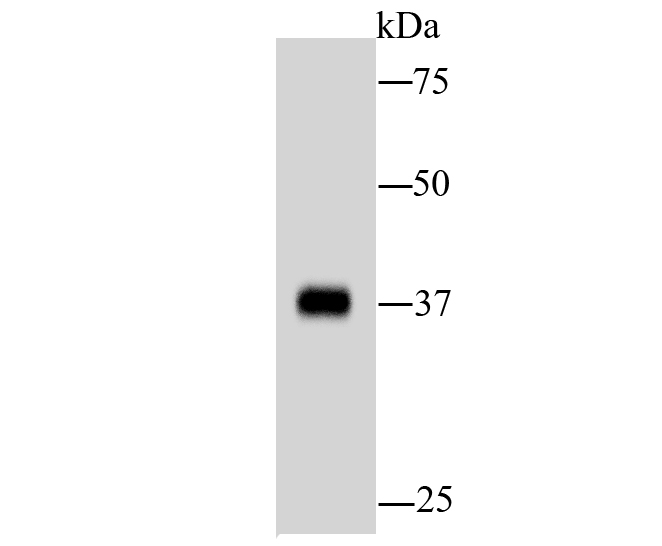 Western blot analysis of AKR7A2 on hybrid fish (crucian-carp) liver tissue lysate using anti-AKR7A2 antibody at 1/1,000 dilution.