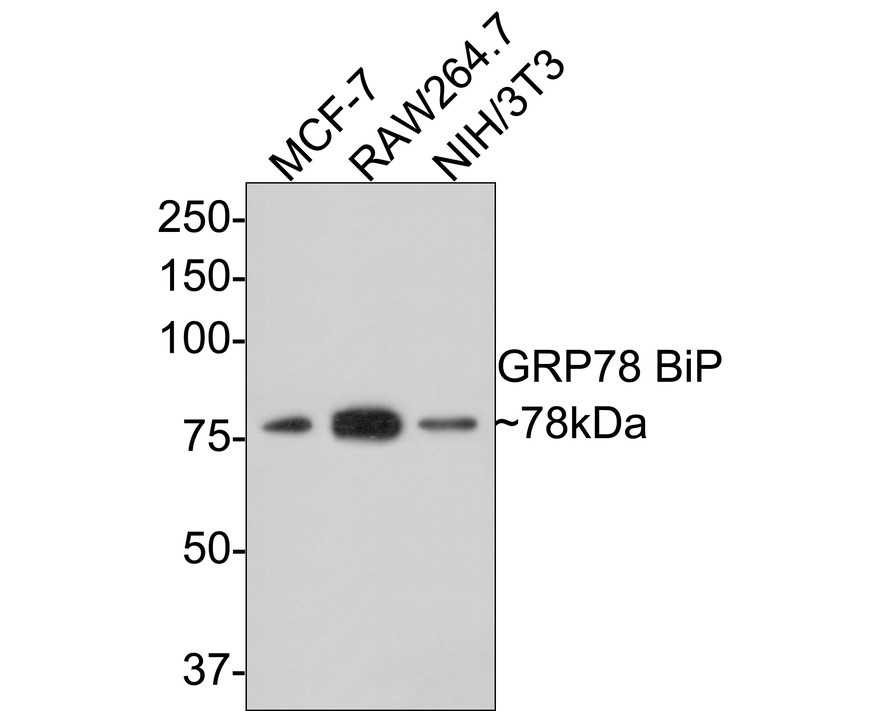 Western blot analysis of GRP78 BiP on different lysates. Proteins were transferred to a PVDF membrane and blocked with 5% BSA in PBS for 1 hour at room temperature. The primary antibody (M1506-2,1:2000) was used in 5% BSA at room temperature for 2 hours. Goat Anti-Mouse IgG - HRP Secondary Antibody (HA1006) at 1:200,000 dilution was used for 1 hour at room temperature.