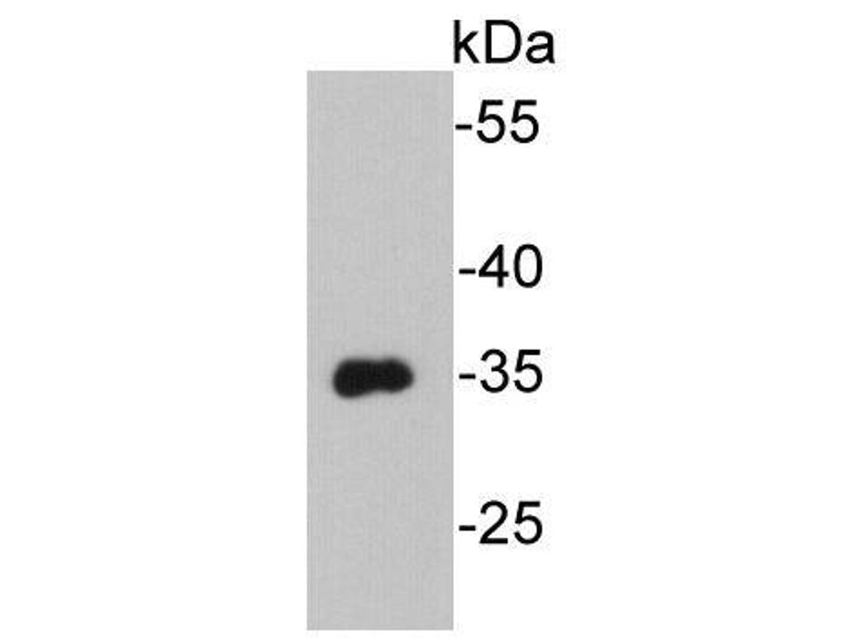 Western blot analysis on recombinant VSV-G-tag protein using anti-VSV-G-tag Mouse mAb.