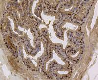Immunohistochemical analysis of paraffin- embedded mouse prostate tissue using anti-EFTUD2 Mouse mAb.