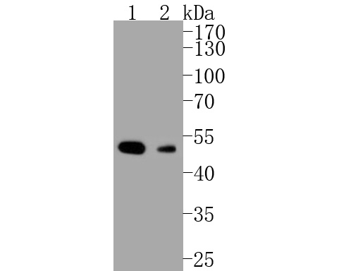 Western blot analysis of Histone Deacetylase 3(HDAC3) on different lysates. Proteins were transferred to a PVDF membrane and blocked with 5% BSA in PBS for 1 hour at room temperature. The primary antibody (M1511-3, 1/1,000) was used in 5% BSA at room temperature for 2 hours. Goat Anti-Rabbit IgG - HRP Secondary Antibody (HA1001) at 1:5,000 dilution was used for 1 hour at room temperature.<br /> Positive control: <br /> Lane 1: MCF-7 lysate<br /> Lane 2: PC-12 cell lysate
