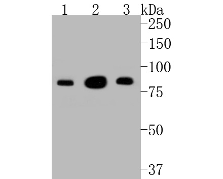Western blot analysis of PSD95 on different lysates. Proteins were transferred to a PVDF membrane and blocked with 5% BSA in PBS for 1 hour at room temperature. The primary antibody (M1511-4, 1/2,000) was used in 5% BSA at room temperature for 2 hours. Goat Anti-Rabbit IgG - HRP Secondary Antibody (HA1001) at 1:5,000 dilution was used for 1 hour at room temperature.<br /> Positive control: <br /> Lane 1: SHG-44 cell lysate<br /> Lane 2: A172 cell lysate<br /> Lane 3: N2A cell lysate