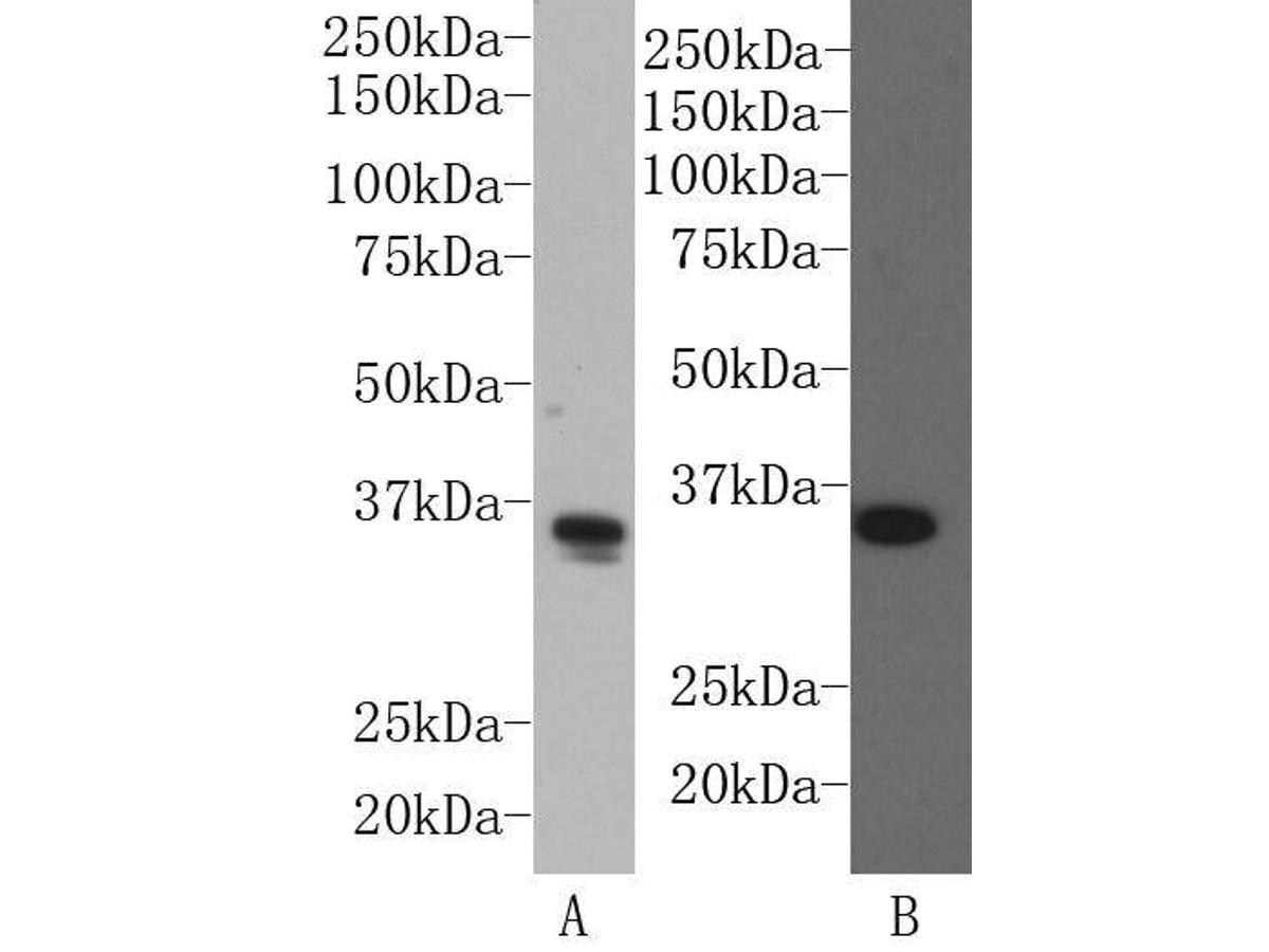 Western blot analysis on F9 (A) and MCF-7(B) cell lysates using anti-SOX2 rabbit polyclonal antibody.