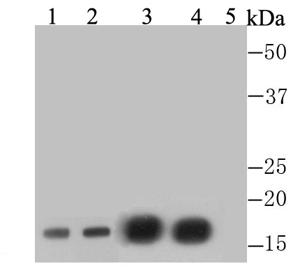 Western blot analysis of Di-mehtyl-Histone H3(Lys4) on different lysates. Proteins were transferred to a PVDF membrane and blocked with 5% BSA in PBS for 1 hour at room temperature. The primary antibody was used at a 1:1,000 dilution in 5% BSA at room temperature for 2 hours. Goat Anti-Rabbit IgG - HRP Secondary Antibody (HA1001) at 1:5,000 dilution was used for 1 hour at room temperature.<br />  Positive control: <br />  Lane 1: Human liver tissue lysate, untreated<br />  Lane 2: Histone lysate, purified from 293T<br />  Lane 3: F9 cell lysate, untreated <br />  Lane 4: F9 cell lysate, treated with Histone H3 peptide-unmodifed<br />  Lane 5: F9 cell lysate, treated with Histone H3 peptide-di-methyl K4