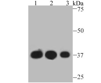 Western blot analysis of GAPDH on different lysates. Proteins were transferred to a PVDF membrane and blocked with 5% BSA in PBS for 1 hour at room temperature. The primary antibody was used at a 1:5,000 dilution in 5% BSA at room temperature for 2 hours. Goat Anti-Rabbit IgG - HRP Secondary Antibody (HA1001) at 1:5,000 dilution was used for 1 hour at room temperature.<br /> Positive control: <br /> Lane 1: F9 cell lysate, untreated <br /> Lane 2: NCCIT cell lysate, untreated<br /> Lane 3: PC-12 cell lysate, untreated
