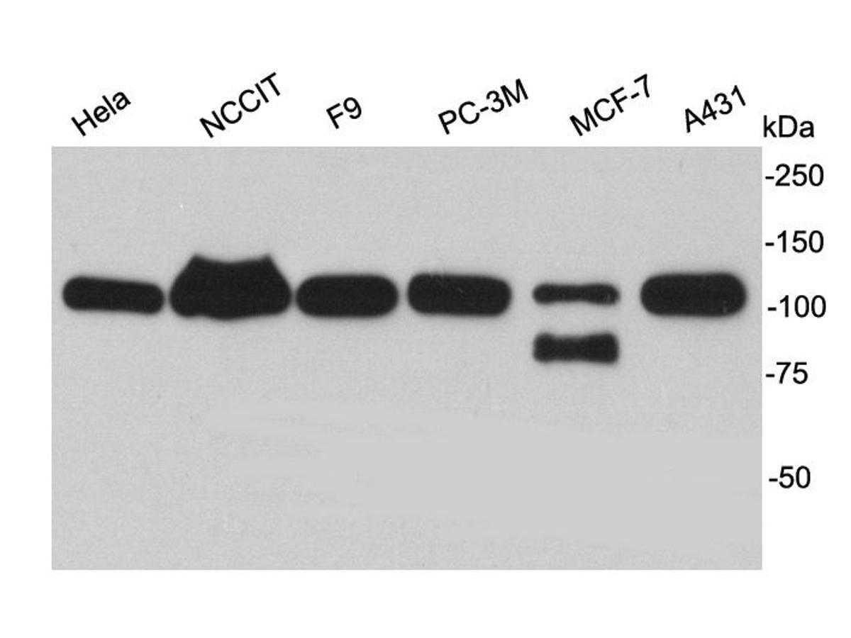 Western blot analysis of TRIM28 on different cell lysates using anti-TRIM28 antibody at 1/1,000 dilution.
