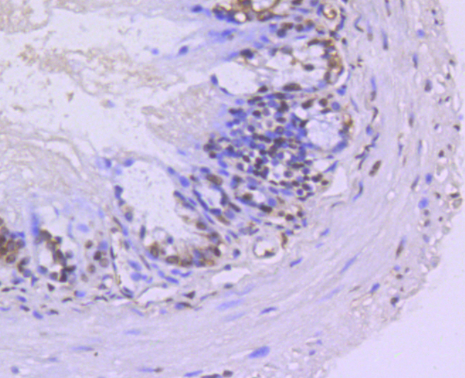 Immunohistochemical analysis of paraffin-embedded mouse colon tissue using anti-TRIM28 antibody. Counter stained with hematoxylin.