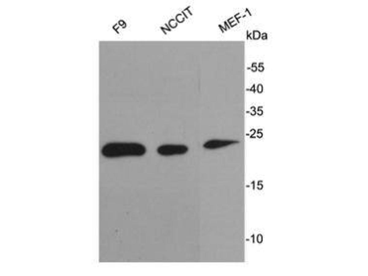 Western blot analysis on cell lysates using anti-Stella rabbit polyclonal antibodies.