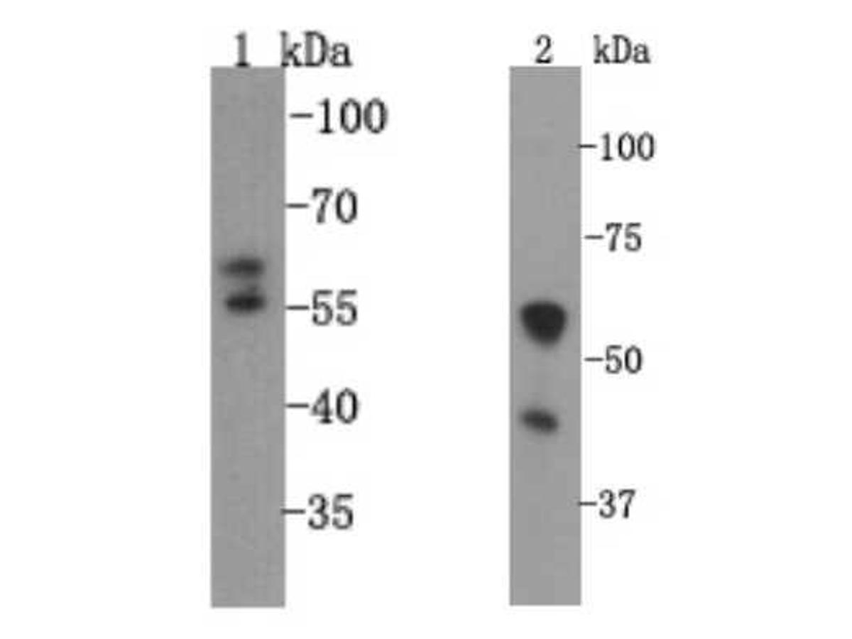 Western blot analysis on A549 (1) and PC12 (2) cell lysates using anti-VMAT1 rabbit polyclonal antibodies.