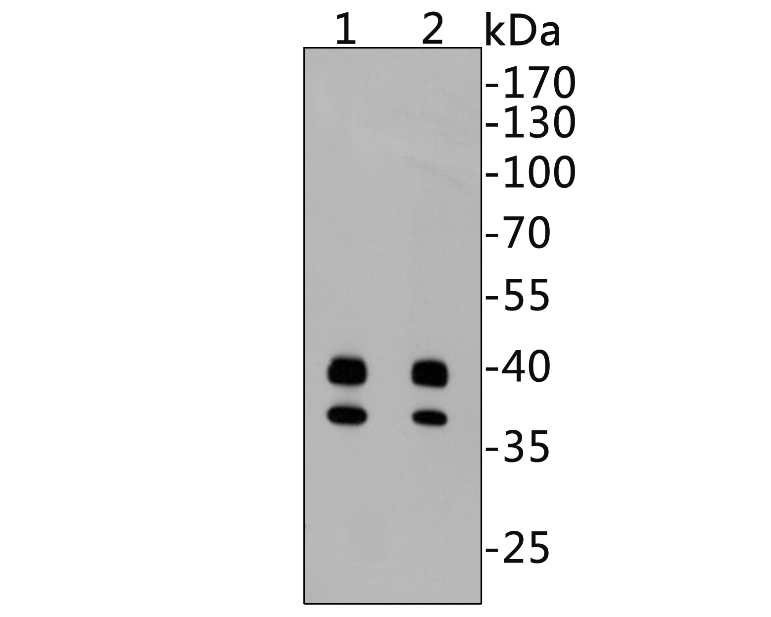 Western blot analysis on Hela cell lysates using anti-Caspase-9 rabbit polyclonal antibodies with Dilution at 1:500 (1) and 1:1000 (2).