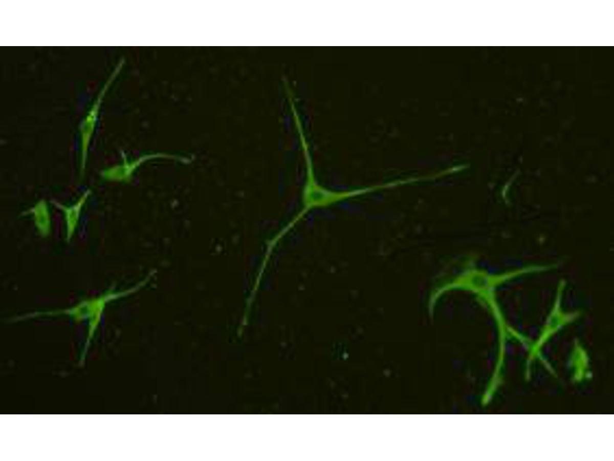Immunofluorescent staining of A172 cells using anti-α-tubulin rabbit polyclonal antibody.