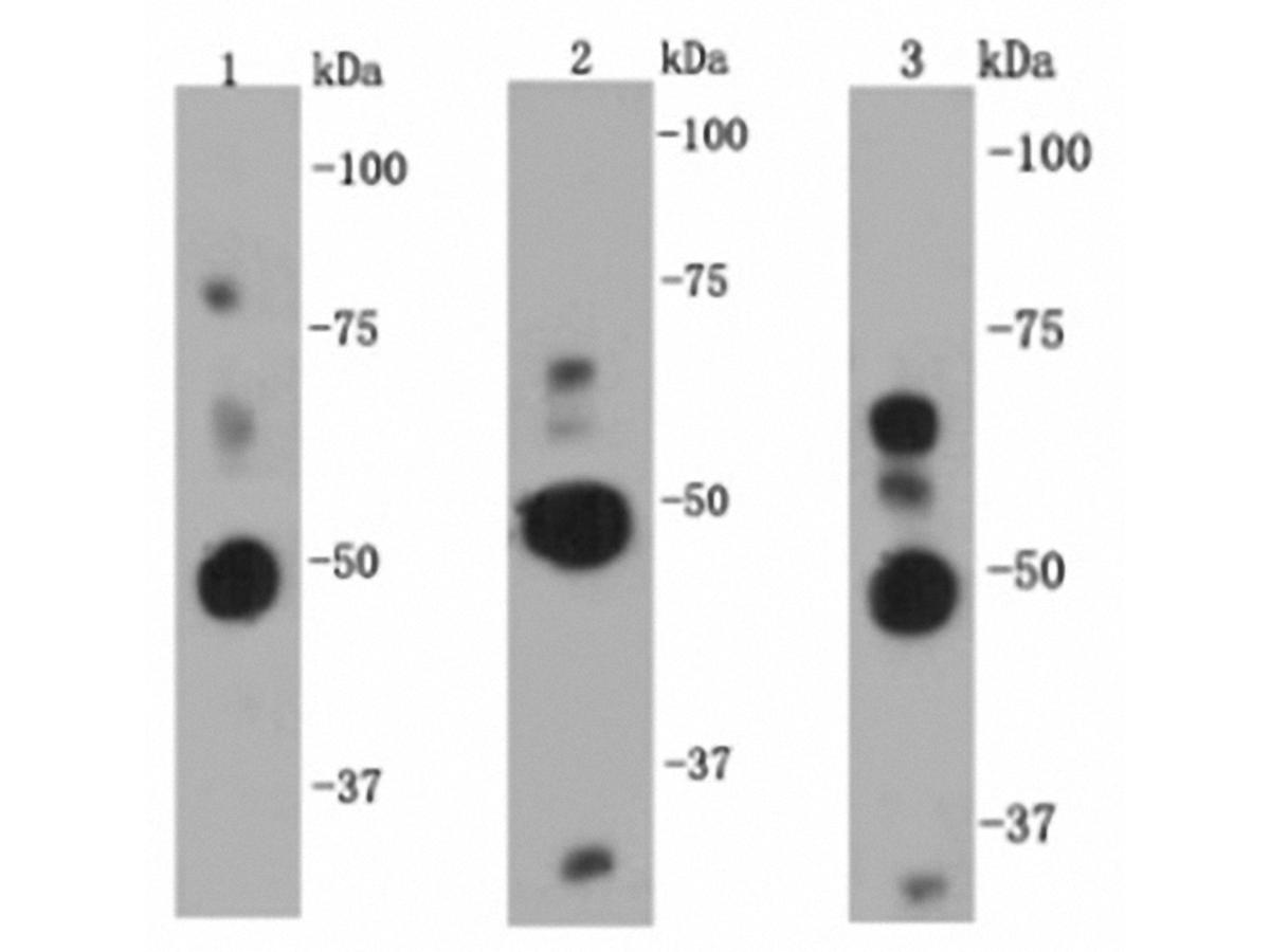 Western blot analysis on Hela (1), HepG2 (2) and Raji (3) cell lysates using anti-NF-κB p105/p50 rabbit polyclonal antibodies.