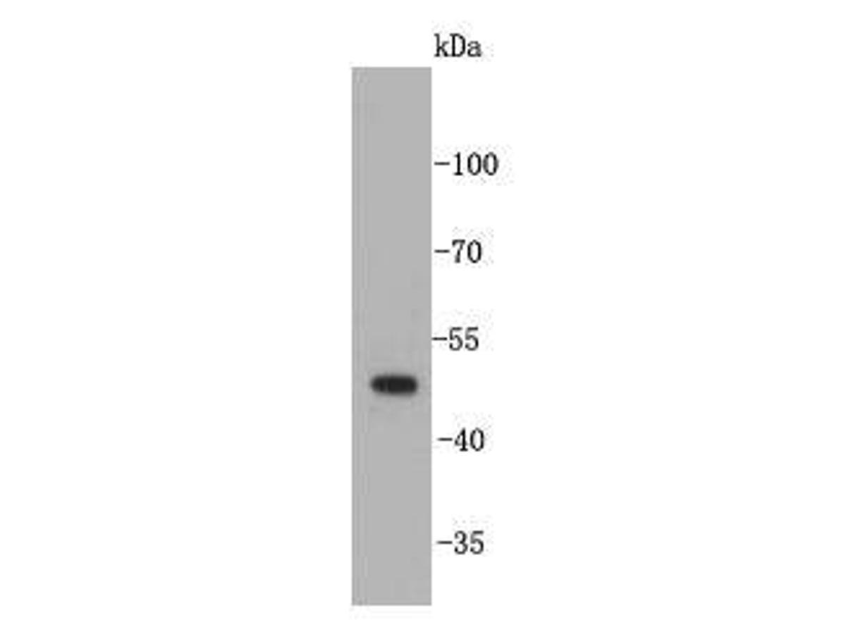Western blot analysis on mouse liver tissue lysates using anti-angiopoietin-like 4 rabbit polyclonal antibodies.