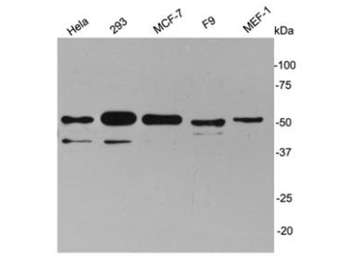 Western blot analysis on cell lysates using anti- cyclin A2 rabbit polyclonal antibodies.