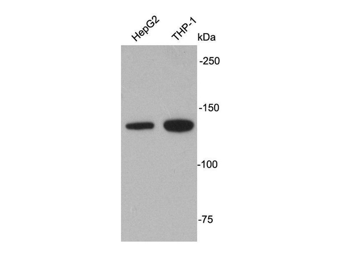 Western blot analysis on cell lysates using anti-APAF1 rabbit polyclonal antibodies.