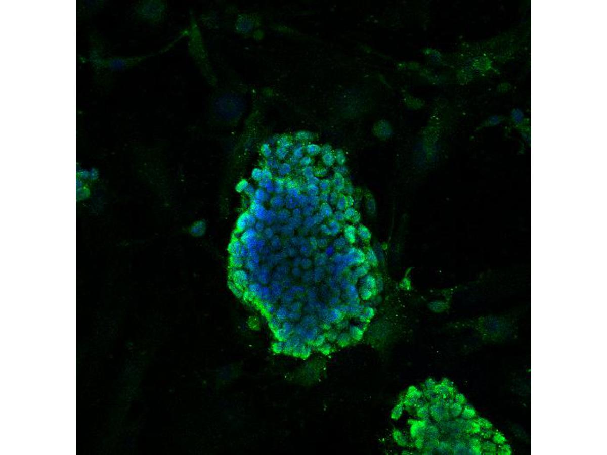 ICC staining DPY30 in D3 cells (green). Cells were fixed in paraformaldehyde, permeabilised with 0.25% Triton X100/PBS and counterstained with DAPI in order to highlight the nucleus (blue).