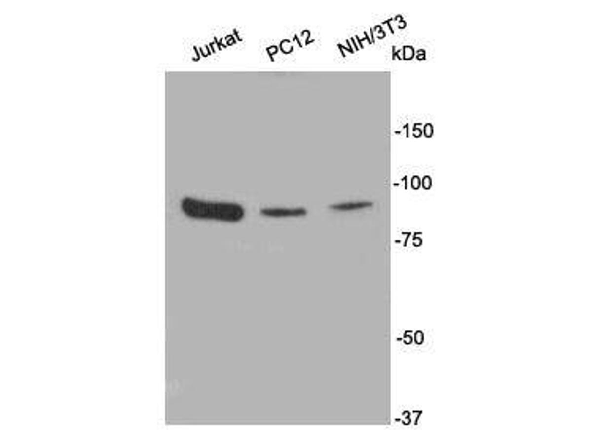 Western blot analysis on cell lysates using anti- PI3-kinase p85 subunit alpha rabbit polyclonal antibodies.