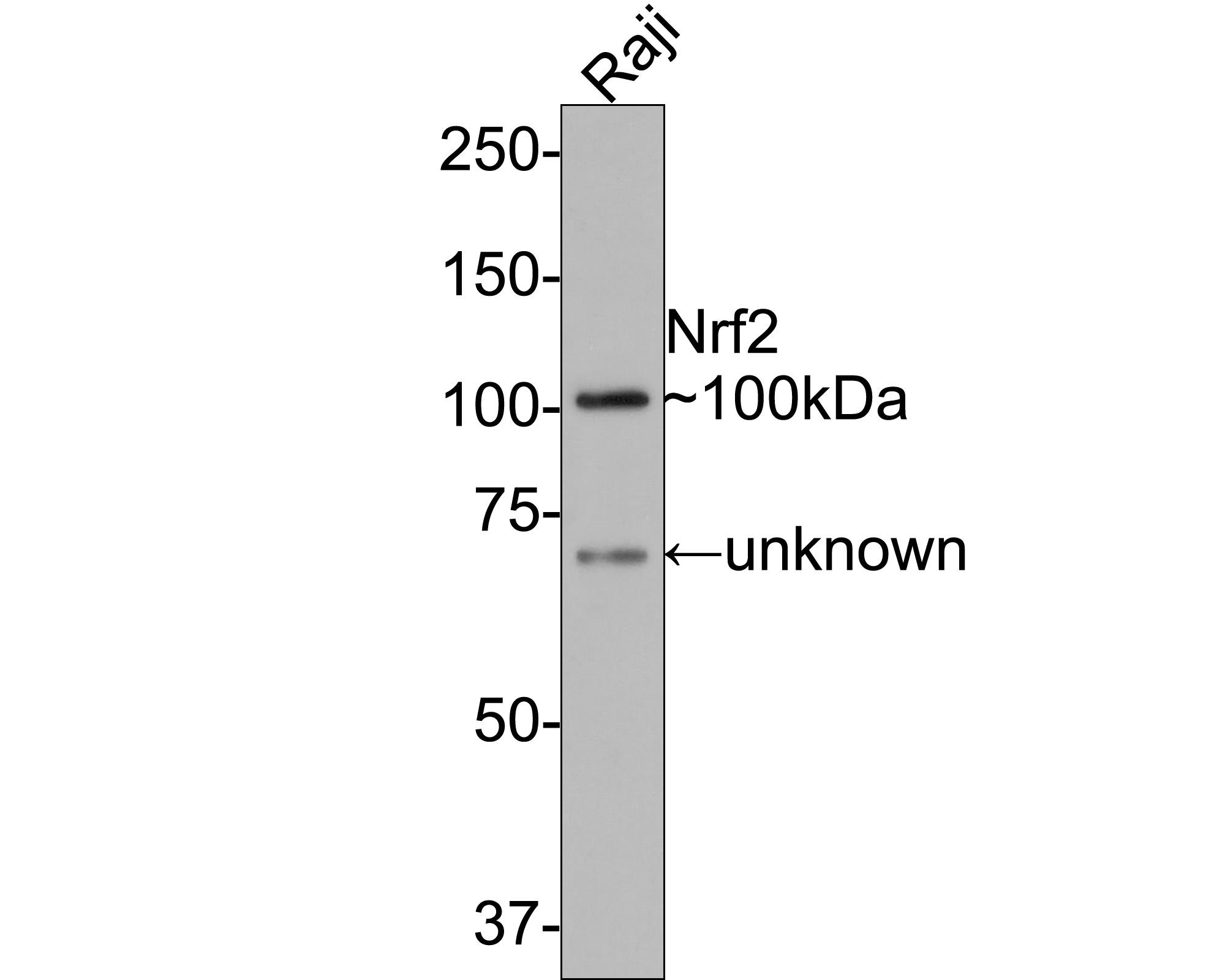 Western blot analysis on different lysates using anti-Nrf2 rabbit polyclonal antibodies.