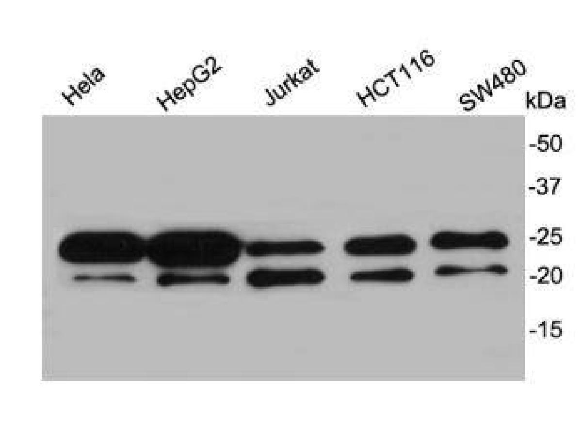 Western blot analysis on different cell lysates using anti-Y14 rabbit polyclonal antibodies.