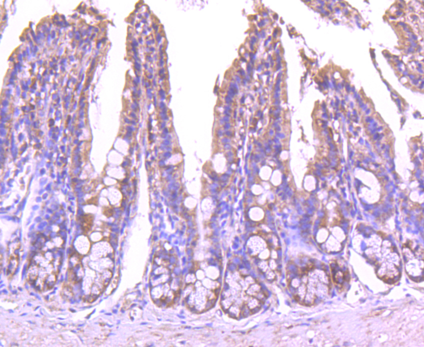 Immunohistochemical analysis of paraffin-embedded mouse colon tissue using anti-EEA1 antibody. The section was pre-treated using heat mediated antigen retrieval with Tris-EDTA buffer (pH 8.0-8.4) for 20 minutes.The tissues were blocked in 5% BSA for 30 minutes at room temperature, washed with ddH2O and PBS, and then probed with the antibody (R1401-23) at 1/50 dilution, for 30 minutes at room temperature and detected using an HRP conjugated compact polymer system. DAB was used as the chrogen. Counter stained with hematoxylin and mounted with DPX.