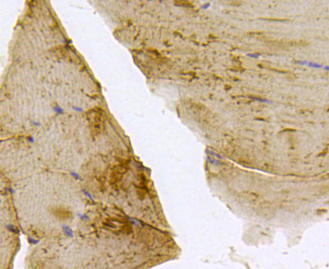 Immunohistochemical analysis of paraffin- embedded mouse skeletal muscle tissue using anti-BMPR1A rabbit polyclonal antibody.