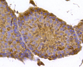 Immunohistochemical analysis of paraffin- embedded mouse testis tissue using anti-FPR2 rabbit polyclonal antibody.