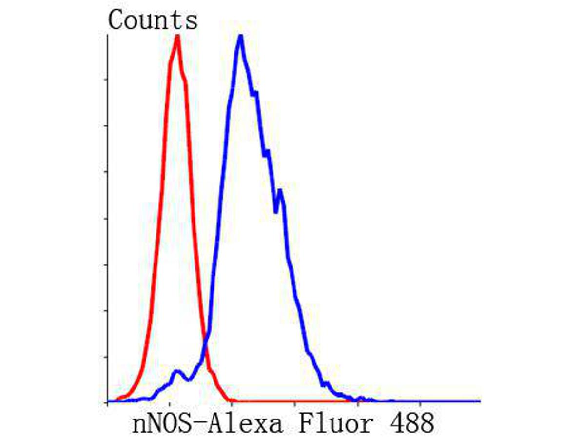 Flow cytometric analysis of N2A cells with nNOS antibody at 1/50 dilution (blue) compared with an unlabelled control (cells without incubation with primary antibody; red). Alexa Fluor 488-conjugated Goat anti rabbit IgG was used as the secondary antibody.