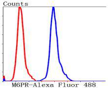 Flow cytometric analysis of Hela cells with M6PR antibody at 1/50 dilution (blue) compared with an unlabelled control (cells without incubation with primary antibody; red). Alexa Fluor 488-conjugated Goat anti mouse IgG was used as the secondary antibody.