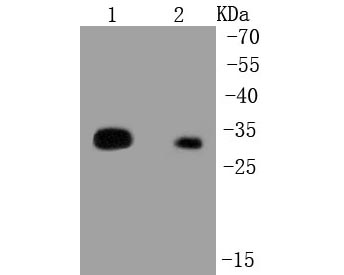 Western blot analysis of HLA-DR on different lysates. Proteins were transferred to a PVDF membrane and blocked with 5% BSA in PBS for 1 hour at room temperature. The primary antibody (R1510-35, 1/1,000) was used in 5% BSA at room temperature for 2 hours. Goat Anti-Rabbit IgG - HRP Secondary Antibody (HA1001) at 1:5,000 dilution was used for 1 hour at room temperature.<br /> Positive control: <br /> Lane 1: Raji cell lysate<br /> Lane 2: Daudi cell lysate
