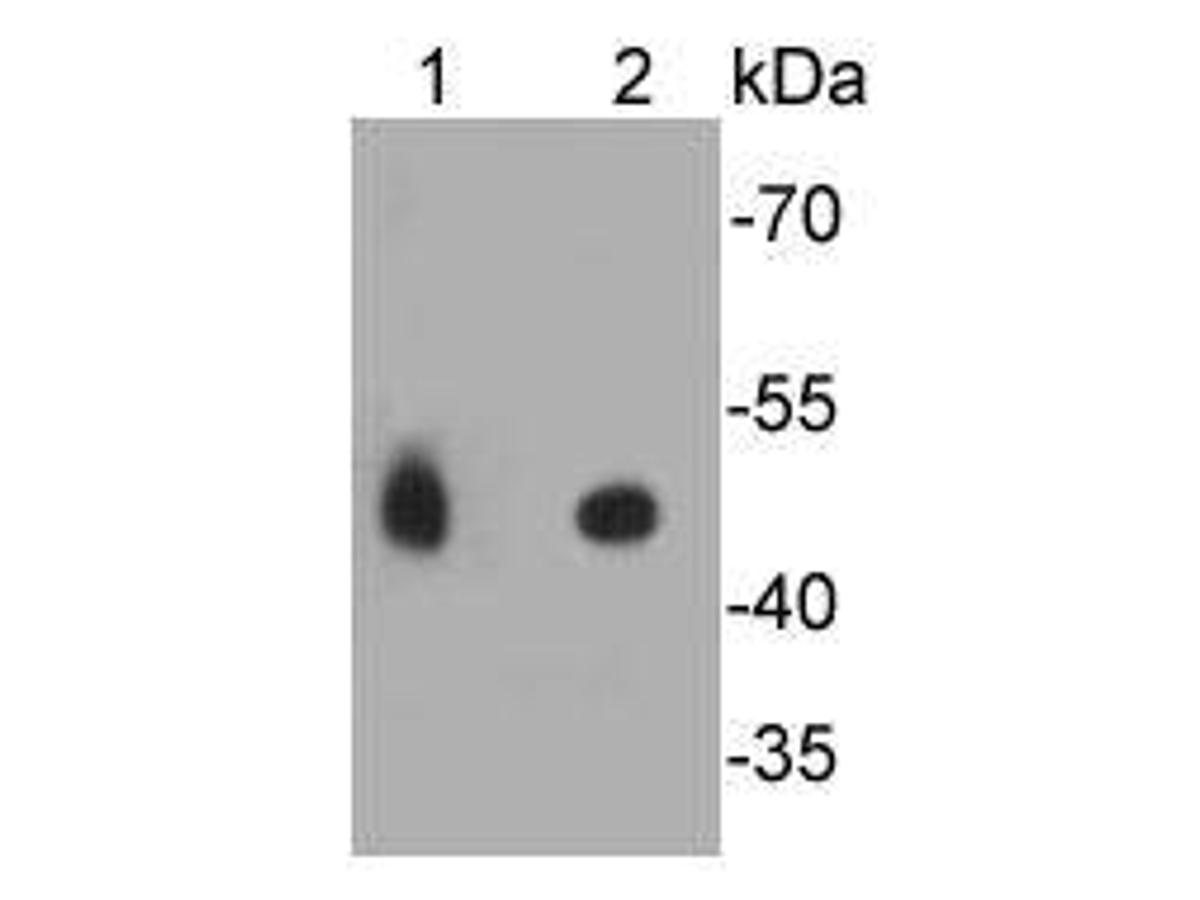 Western blot analysis on different lysates using anti-FPR2 rabbit polyclonal antibody. Positive control: <br /> Lane 1: Jurkat     <br /> Lane 2: HL-60