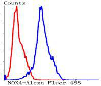 Flow cytometric analysis of Hela cells with NADPH oxidase 4 antibody at 1/50 dilution (blue) compared with an unlabelled control (cells without incubation with primary antibody; red). Alexa Fluor 488-conjugated Goat anti rabbit IgG was used as the secondary antibody.