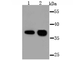 Western blot analysis of AKR1C1 on different lysate using anti-AKR1C1 antibody at 1/1,000 dilution.<br /> Positive control:<br /> Lane 1:  Mouse testis<br /> Lane 2:  SW480