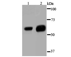 Western blot analysis of Glypican-1 on different cell lysate using anti- Glypican-1 antibody at 1/1,000 dilution.<br />  Positive control:<br />  Lane 1: Hela  <br />     Lane 2: SK-Br-3