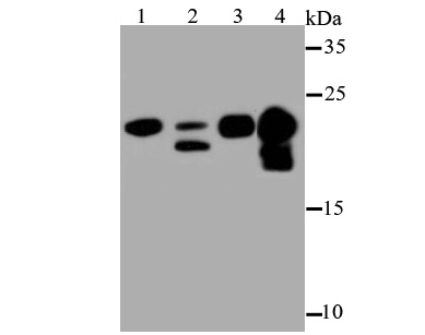 Western blot analysis of Myosin Light Chain 2 on different lysates using anti-Myosin Light Chain 2 antibody at 1/500 dilution.<br />  Positive control:<br />  Lane 1: Mouse skeletal muscle<br />  Lane 2: Human skeletal muscle<br />  Lane 3: Mouse heart<br />  Lane 4: Rat heart