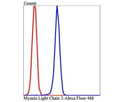Flow cytometric analysis of Hela cells with Myosin Light Chain 2 antibody at 1/100 dilution (blue) compared with an unlabelled control (cells without incubation with primary antibody; red). Alexa Fluor 488-conjugated Goat anti rabbit IgG was used as the secondary antibody.
