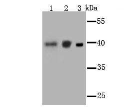 Western blot analysis of PCBP1 on different cell lysate using anti-PCBP1 antibody at 1/1,000 dilution.<br />   Positive control:<br />   Lane 1: F9 <br />   Lane 2: NIH-3T3 Lane 3: K562