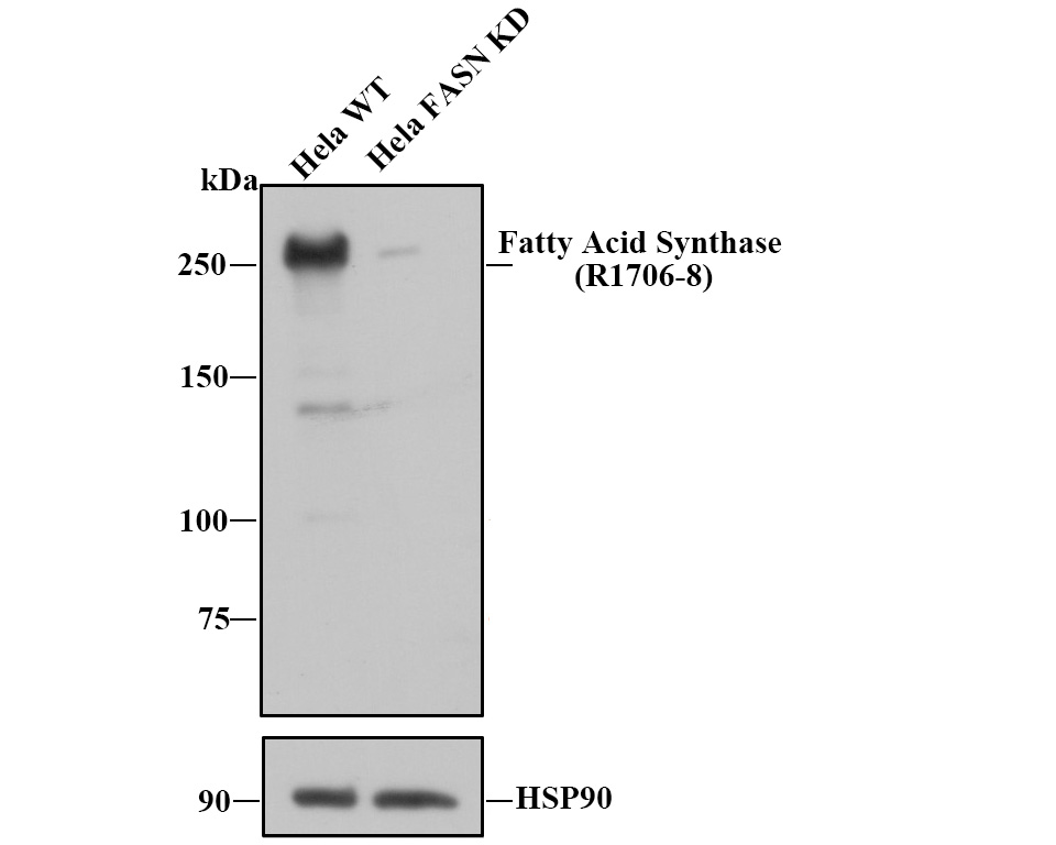 Western blot analysis of Fatty Acid Synthase on A549 cell lysate using anti-Fatty Acid Synthase antibody at 1/1,000 dilution.