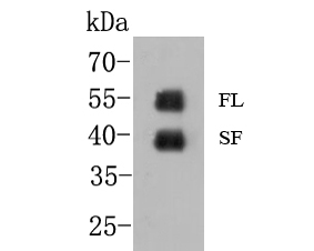 Western blot analysis of GATA3 on MCF-7 cell  lysate. Proteins were transferred to a PVDF membrane and blocked with 5% BSA in PBS for 1 hour at room temperature. The primary antibody (EM1902-33, 1/500) was used in 5% BSA at room temperature for 2 hours. Goat Anti-Mouse IgG - HRP Secondary Antibody (HA1006) at 1:5,000 dilution was used for 1 hour at room temperature.<br /> Specific bands were detected for GATA3 full length (FL) at approximately 52 kDa and the splice form (SF) at approximately 39 kDa (as indicated).