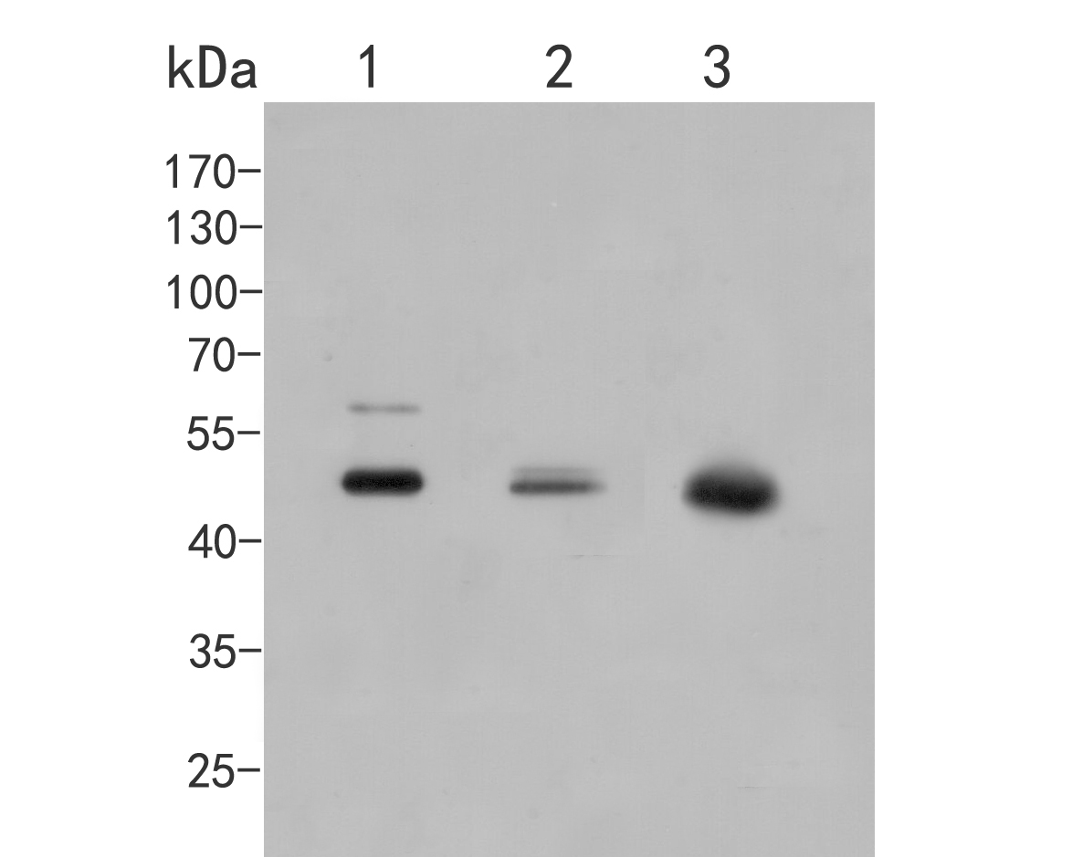 Western blot analysis of CELF2 on different lysates. Proteins were transferred to a PVDF membrane and blocked with 5% BSA in PBS for 1 hour at room temperature. The primary antibody (EM1902-41, 1/500) was used in 5% BSA at room temperature for 2 hours. Goat Anti-Mouse IgG - HRP Secondary Antibody (HA1006) at 1:5,000 dilution was used for 1 hour at room temperature.<br /> Positive control: <br /> Lane 1: MCF-7 cell lysate<br /> Lane 2: A549 cell lysate<br /> Lane 3: PC-3M cell lysate