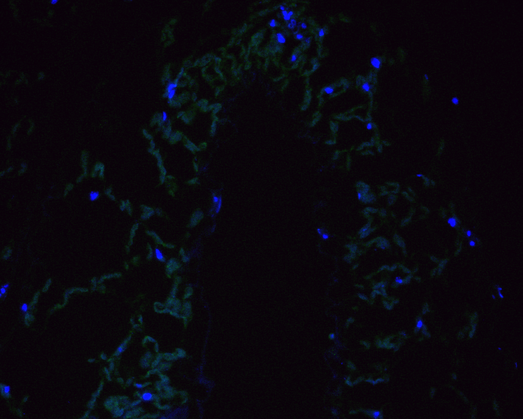 Immunofluorescence staining of paraffin- embedded rice tissue using anti-D14 rabbit polyclonal antibody.The section was pre-treated using heat mediated antigen retrieval with Tris-EDTA buffer (pH 9.0) for 20 minutes.(sodium citrate buffer (pH 6.0) for 20 mins.) The tissues were blocked in 10% negative goat serum for 1 hour at room temperature, washed with PBS, and then probed with the antibody () at 1/100 dilution for 10 hours at 4℃ and detected using Alexa Fluor™ 488 conjugate-Goat anti-Rabbit IgG (H+L) Secondary Antibody at a dilution of 1:500 for 1 hour at room temperature.