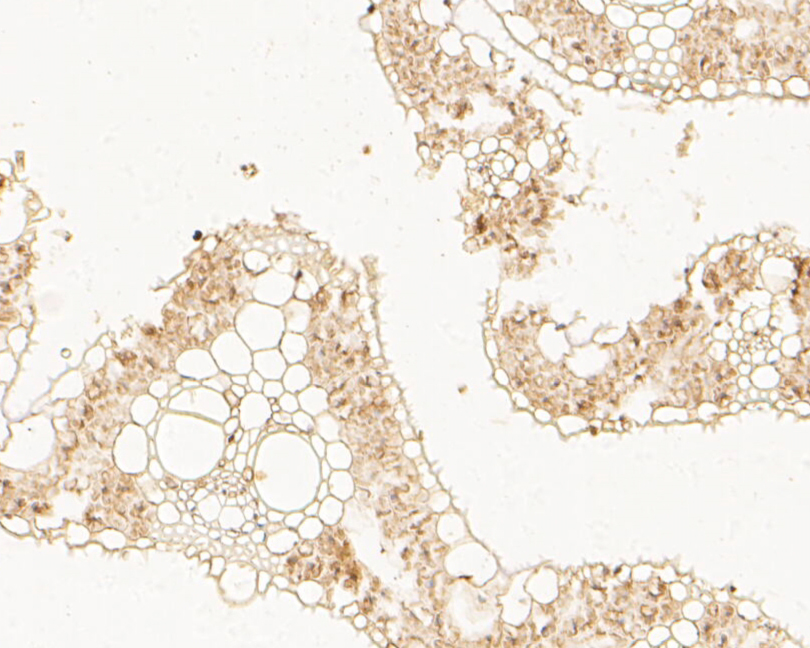 Immunohistochemical analysis of paraffin-embedded  rice  tissue using anti-D14 antibody. The section was pre-treated using heat mediated antigen retrieval with Tris-EDTA buffer (pH 8.0-8.4) for 20 minutes.The tissues were blocked in 5% BSA for 30 minutes at room temperature, washed with ddH2O and PBS, and then probed with the antibody () at 1/100 dilution, for 30 minutes at room temperature and detected using an HRP conjugated compact polymer system. DAB was used as the chrogen. Counter stained with hematoxylin and mounted with DPX.