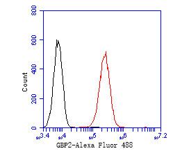 Flow cytometric analysis of GBP2 was done on A549 cells. The cells were fixed, permeabilized and stained with the primary antibody (ER2001-12, 1/50) (red). After incubation of the primary antibody at room temperature for an hour, the cells were stained with a Alexa Fluor 488-conjugated Goat anti-Rabbit IgG Secondary antibody at 1/1000 dilution for 30 minutes.Unlabelled sample was used as a control (cells without incubation with primary antibody; black).