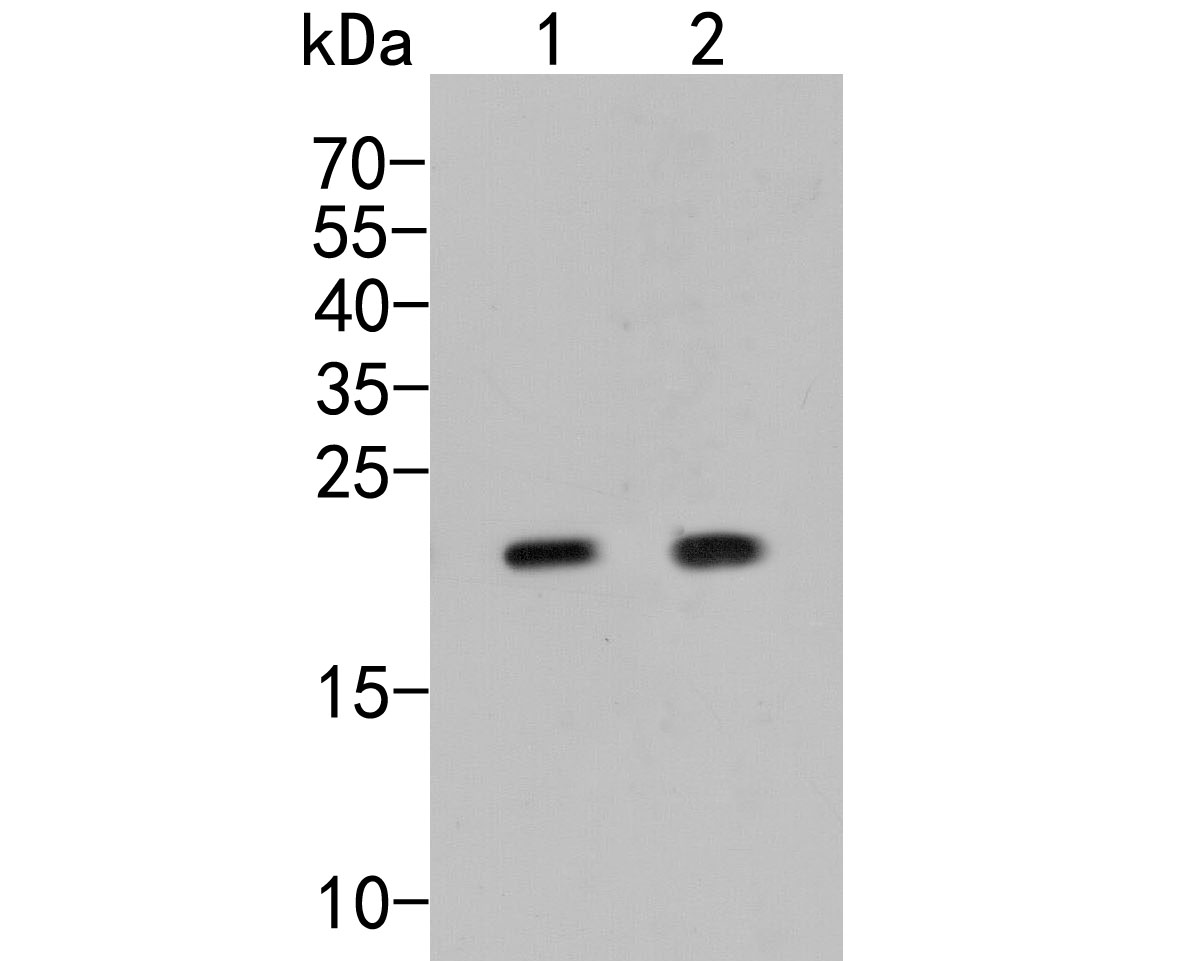 Western blot analysis of COPS8 on different lysates. Proteins were transferred to a PVDF membrane and blocked with 5% BSA in PBS for 1 hour at room temperature. The primary antibody (ER2001-29, 1/500) was used in 5% BSA at room temperature for 2 hours. Goat Anti-Rabbit IgG - HRP Secondary Antibody (HA1001) at 1:5,000 dilution was used for 1 hour at room temperature.<br />  Positive control: <br />  Lane 1: SHSY5Y cell lysate<br />  Lane 2: HL-60 cell lysate