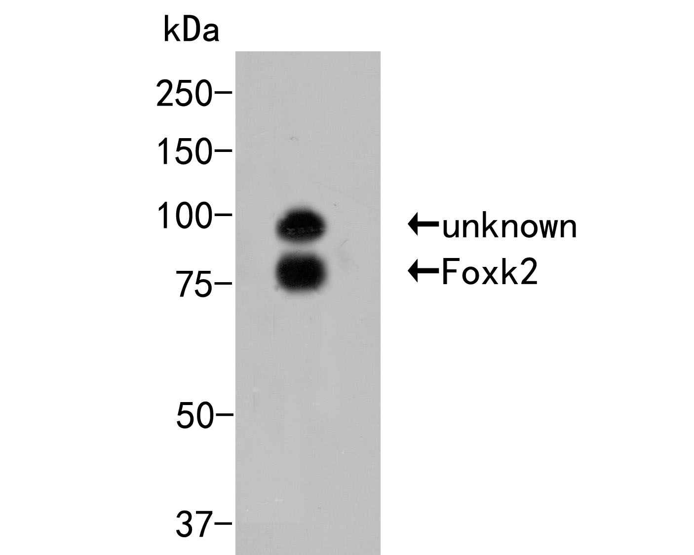 Western blot analysis of Foxk2 on 293 cell lysates. Proteins were transferred to a PVDF membrane and blocked with 5% BSA in PBS for 1 hour at room temperature. The primary antibody (ER2001-47, 1/500) was used in 5% BSA at room temperature for 2 hours. Goat Anti-Rabbit IgG - HRP Secondary Antibody (HA1001) at 1:5,000 dilution was used for 1 hour at room temperature.