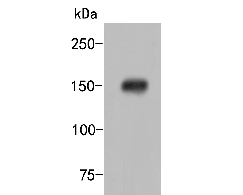 Western blot analysis of HDLBP on HepG2  lysates. Proteins were transferred to a PVDF membrane and blocked with 5% BSA in PBS for 1 hour at room temperature. The primary antibody (ER2001-48, 1/500) was used in 5% BSA at room temperature for 2 hours. Goat Anti-Rabbit IgG - HRP Secondary Antibody (HA1001) at 1:5,000 dilution was used for 1 hour at room temperature.