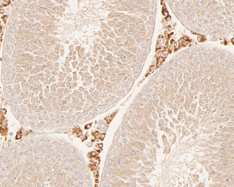 Immunohistochemical analysis of paraffin-embedded rat testis tissue using anti-HDLBP antibody. The section was pre-treated using heat mediated antigen retrieval with sodium citrate buffer (pH 6.0) for 20 minutes. The tissues were blocked in 5% BSA for 30 minutes at room temperature, washed with ddH2O and PBS, and then probed with the primary antibody (ER2001-48, 1/200)  for 30 minutes at room temperature. The detection was performed using an HRP conjugated compact polymer system. DAB was used as the chromogen. Tissues were counterstained with hematoxylin and mounted with DPX.