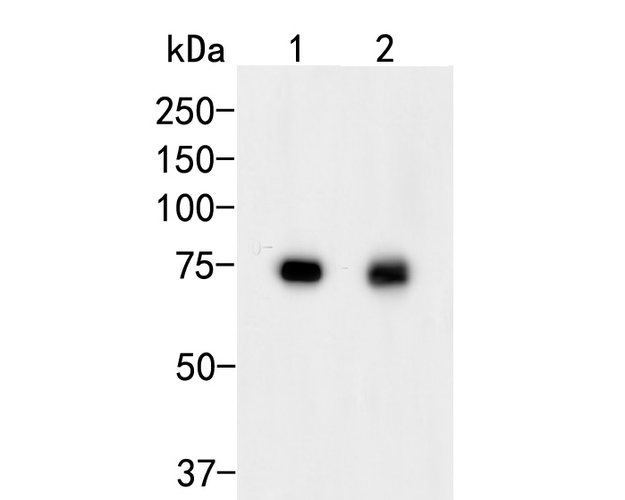 Western blot analysis of GADD34 on different lysates. Proteins were transferred to a PVDF membrane and blocked with 5% BSA in PBS for 1 hour at room temperature. The primary antibody (ER2001-56, 1/500) was used in 5% BSA at room temperature for 2 hours. Goat Anti-Rabbit IgG - HRP Secondary Antibody (HA1001) at 1:5,000 dilution was used for 1 hour at room temperature.<br />  Positive control: <br />  Lane 1: HepG2 cell lysate<br />  Lane 2: A431 cell lysate