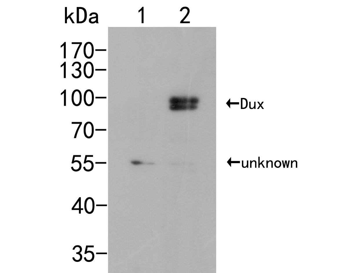 Western blot analysis of Dux on different lysates. Proteins were transferred to a PVDF membrane and blocked with 5% BSA in PBS for 1 hour at room temperature. The primary antibody (ER2001-60, 1/500) was used in 5% BSA at room temperature for 2 hours. Goat Anti-Rabbit IgG - HRP Secondary Antibody (HA1001) at 1:5,000 dilution was used for 1 hour at room temperature.<br /> Positive control: <br /> Lane 1: Non-transfected 293T cells lysate<br /> Lane 2: His-tagged Dux transfected 293T cells lysate