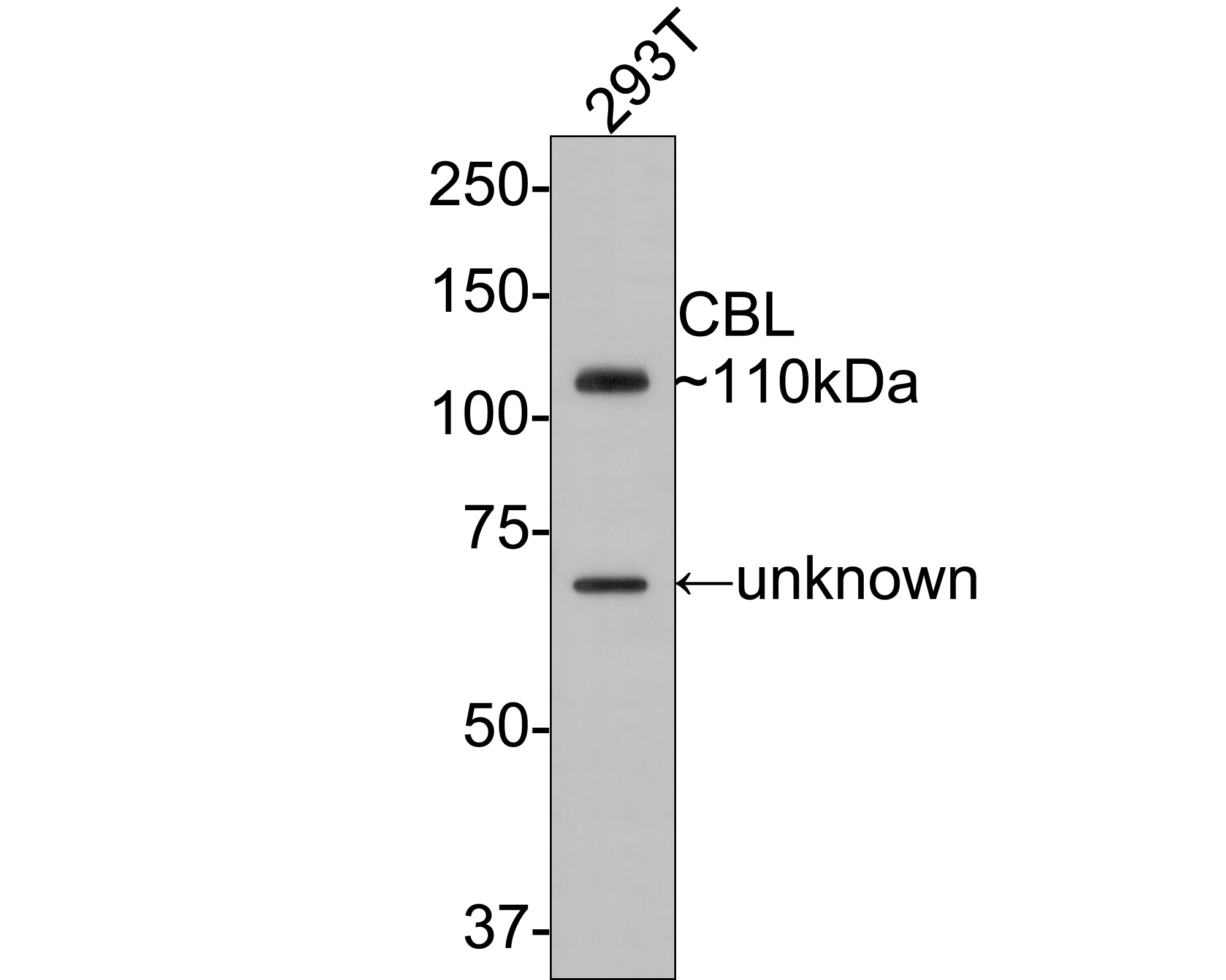 Western blot analysis of CBL on THP-1 cell lysates. Proteins were transferred to a PVDF membrane and blocked with 5% BSA in PBS for 1 hour at room temperature. The primary antibody (ER2001-61, 1/500) was used in 5% BSA at room temperature for 2 hours. Goat Anti-Rabbit IgG - HRP Secondary Antibody (HA1001) at 1:5,000 dilution was used for 1 hour at room temperature.